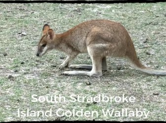 Golden Wallaby at South Stradbroke Island