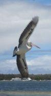 Australian pelican flying