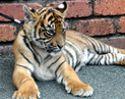 Dreamworld Tiger Cub
