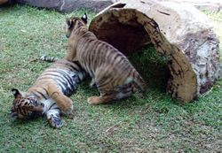 Dreamworld tiger cubs playing together near Tiger Island.