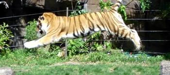 Dreamworld Tiger jumping between logs at Tiger Island Presentation.