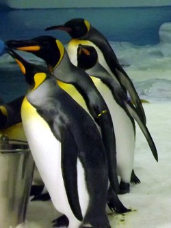 Not Emperor Penguins at Sea World - these are King Penguins