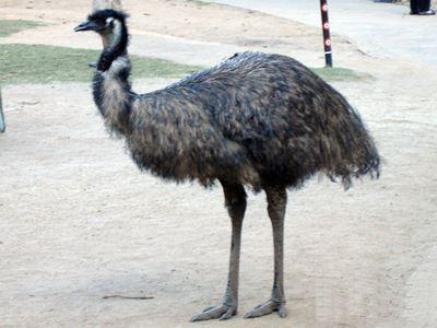 Emu at Currumbin.