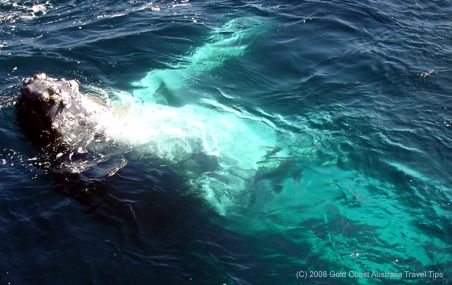 Humpback lying on back in water