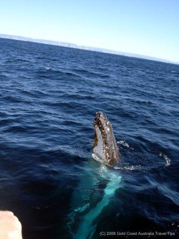 Humpback whale off the Gold Coast