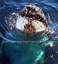 Photo of Humpback Whale off Gold Coast Australia