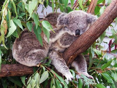 Koala's cuddling in a tree at Currumbin.