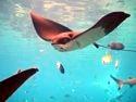 Manta Ray in Shark Bay.