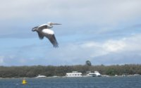 Pelican flying above the broadwater