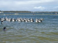 Pelicans on Ian Dipple Lagoon at Labrador waiting to be fed