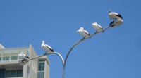 Pelicans on lamppost at Labrador. Don't park or stand underneath!