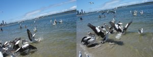 Photos of pelican feeding at Ian Dipple Lagoon, Labrador on the Gold Coast in Queensland Australia