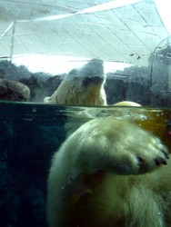 Polar Bear at Sea World