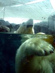 Polar Bear at Sea World