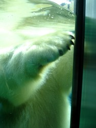 Polar Bear claws