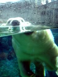 Polar Bear looking at me!