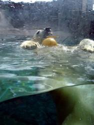 Polar bear playing with ball at Sea World's Polar Bear Shores