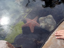 Sea Star at Sea World Touch Pools