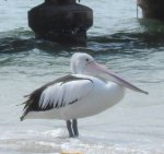 Australian pelican photo showing white body with black feathers on back