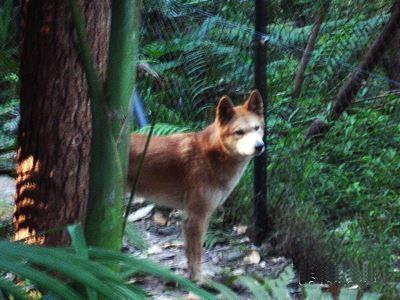 Dingo at Currumbin.
