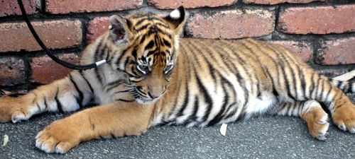 Dreamworld Tiger Cub in the Park - lying down taking it all in!