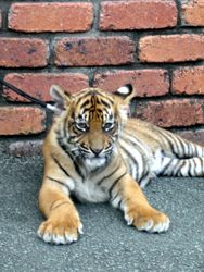 Dreamworld Tiger cub lying down