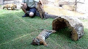Dreamworld Tiger cubs with handler.