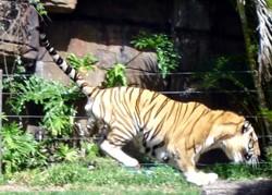 Dreamworld tiger jumping onto log during the Tiger Island presenation.