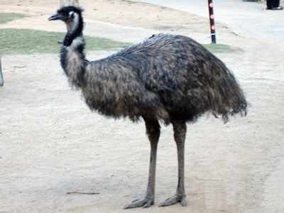 Emu at Currumbin.