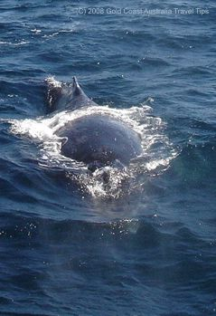 Humpback whale showing dorsal fin