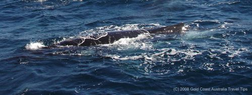 Humpback whale picture from side