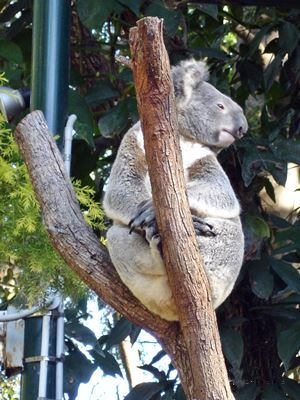Koala sittingn in a tree at Currumbin.