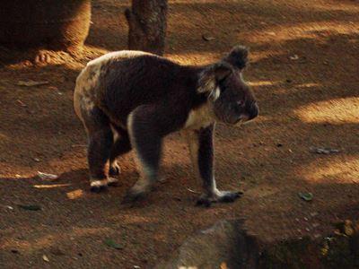 Koala walking on ground at Currumbin.