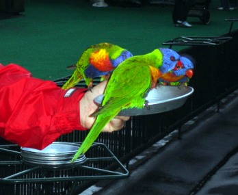 Lorikeets feeding at Currumbin.