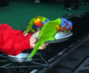 Lorikeets feeding at Currumbin.