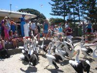 Pelican feeding at Charis Seafood, Labrador.