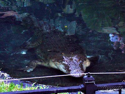 Saltwater Crocodile at Currumbin.