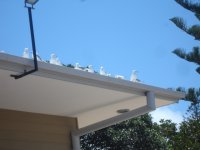 Cheeky seagulls watching pelican feeding from the safety of the Charis Seafood roof!