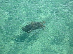 Turtle in the water off Tangalooma.