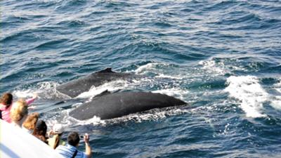 Humpback Whales off Gold Coast