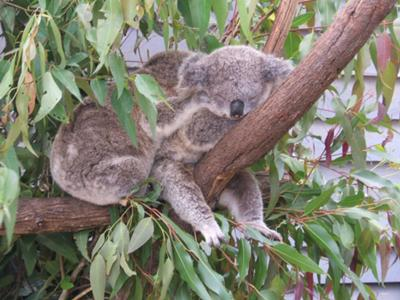 Holding Koala At Currumbin